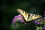 2nd Aug 2015 - Swallowtail Summer