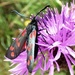 Six Spot Burnet  by julienne1