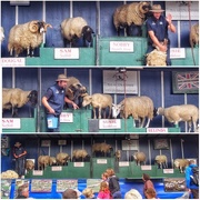 1st Aug 2015 - Travelling sheep