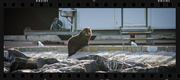 2nd Aug 2015 - Bubba Seal