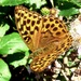 Silver-washed Fritillary (Argynnis paphia) by julienne1