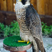 Lanner Falcon by salza