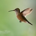 Hummingbird in Flight by lynne5477