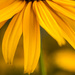 Blackeyed Susan by skipt07