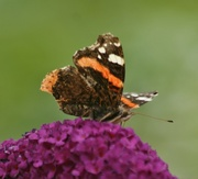 3rd Aug 2015 - Red Admiral