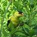 GOLDfinch, reflecting Green