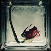 15th Nov 2010 - The Rose 2