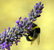 3rd Aug 2015 - Bee on Lavender