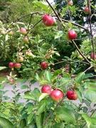3rd Aug 2015 - Dem Apples