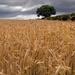 Nearly Harvest Time by stevet201