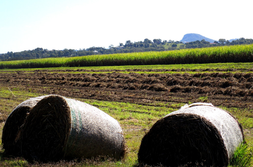 Sugar cane, now used mostly for mulch. by 777margo