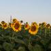 Golden Hour, Golden Flowers by bill_fe
