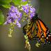 Monarch by rickster549