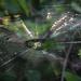 Sunlit Web by rickster549