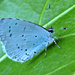 Holly Blue by wendyfrost