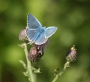 6th Aug 2015 - Common Blue