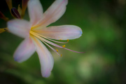 6th Aug 2015 - Naked Lady Lily
