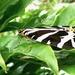 Jersey Tiger Moth (Euplagia quadripunctaria) by julienne1