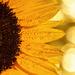 2015-08-07 sunflower by mona65