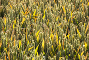 7th Aug 2015 - Harvest is imminent