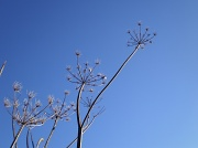 16th Nov 2010 - Heracleum sphondylium.