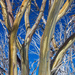 Snow Gum by pusspup