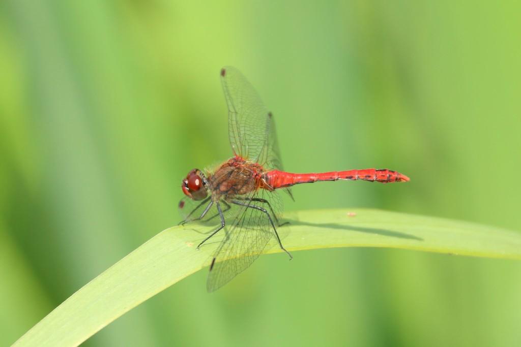 Dragonfly by bizziebeeme