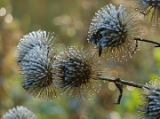 16th Nov 2010 - Nature's Christmas Baubles