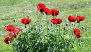 9th Aug 2015 - My Poppies