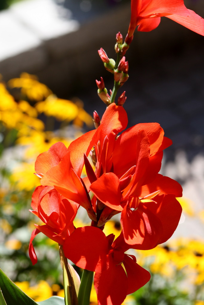 Canna lily by bruni