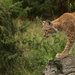 Eurasian Lynx by leonbuys83