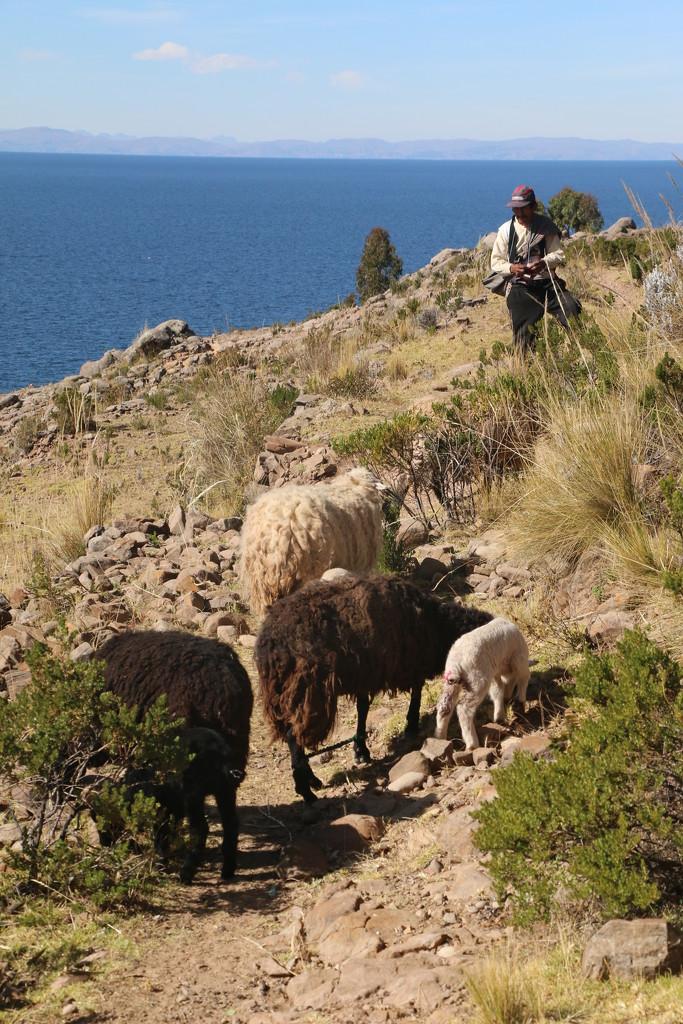Knitting shepherd by ingrid01