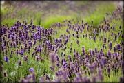 20th Jul 2015 - Lavender