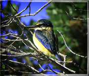 12th Aug 2015 - Kingfisher