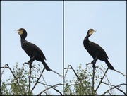 11th Aug 2015 - The Many Faces Of A Cormorant