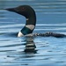 common loon by mjalkotzy