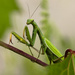 praying mantis by aecasey