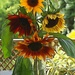 my vase of sunflowers by quietpurplehaze