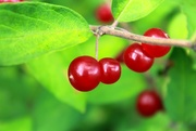 13th Aug 2015 - berries