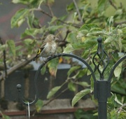 15th Aug 2015 - Goldfinch in waiting