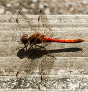 15th Aug 2015 - 15th August 2015    - Ruddy Darter