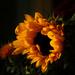 Sunflower by nanderson