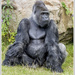 Silverback Gorilla by pcoulson