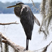 Blue Heron in Tree with Feather ajar by rickster549