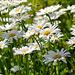 Shasta daisy by elisasaeter