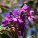 Tibouchina bloom