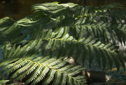 17th Aug 2015 - 2015 08 17 Fern Fronds