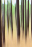 16th Aug 2015 - pine trees