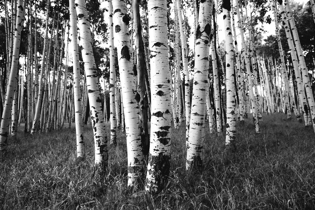 birch forest by blueberry1222