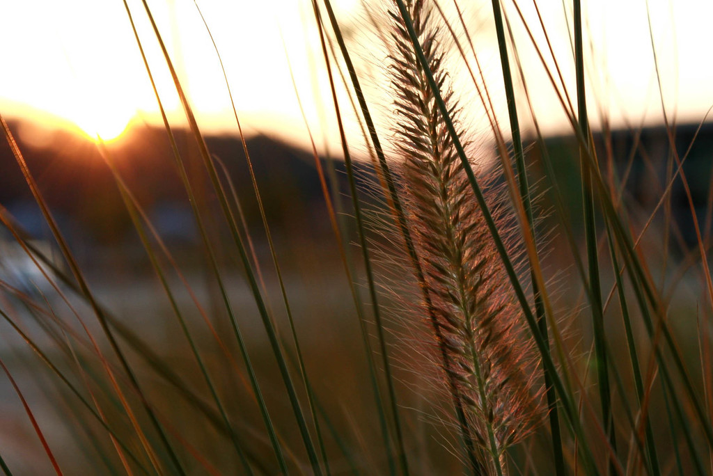 Ornamental grass at sunset by mittens